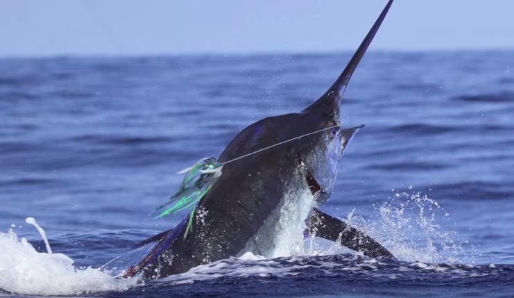 A tourist catching a blue marlin on board a Mauritian charter
