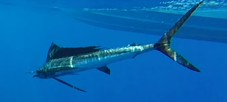 A visitor catching a sailfish during a big game fishing tour in Mauritius