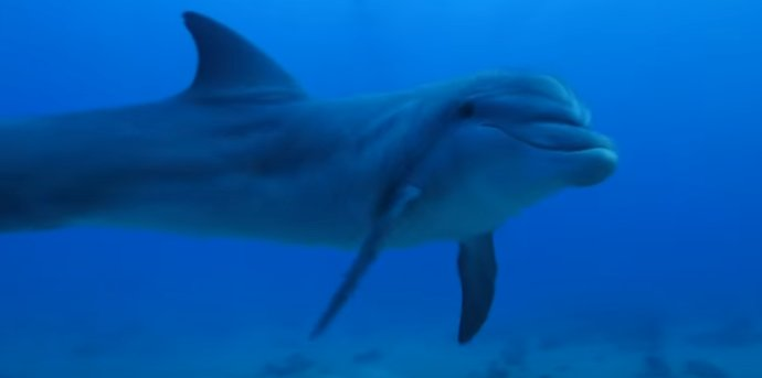 Bottle-nose dolphins off Flic en Flac coast