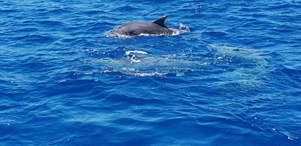 dolphin swimming flic en flac