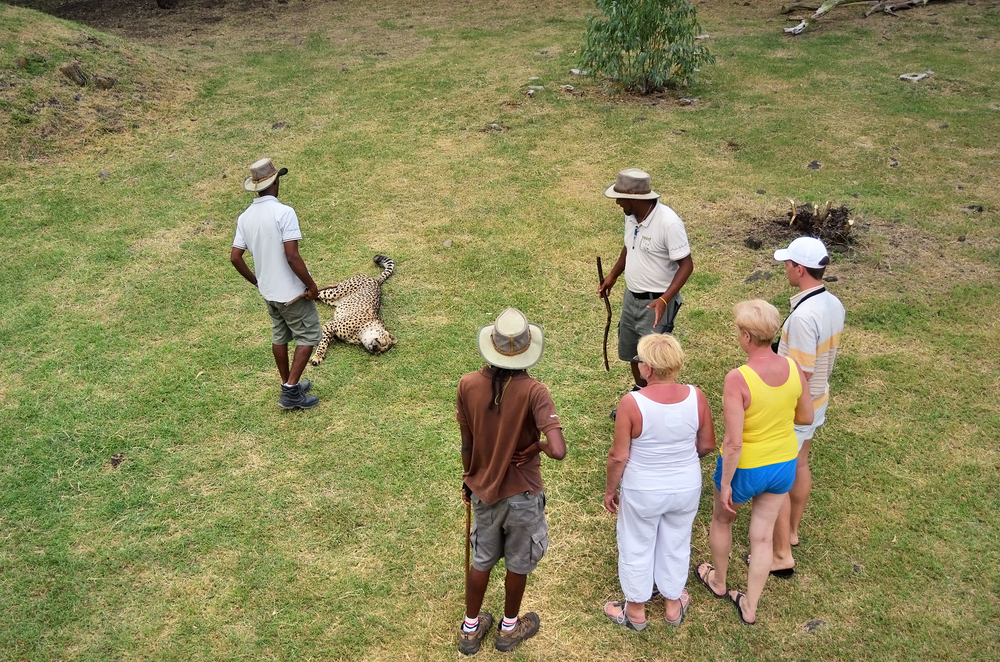 ourists looking at wild cheetah during safari at Casela Park in Mauritius
